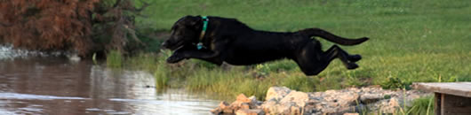 Jorga, chocolate factored black lab